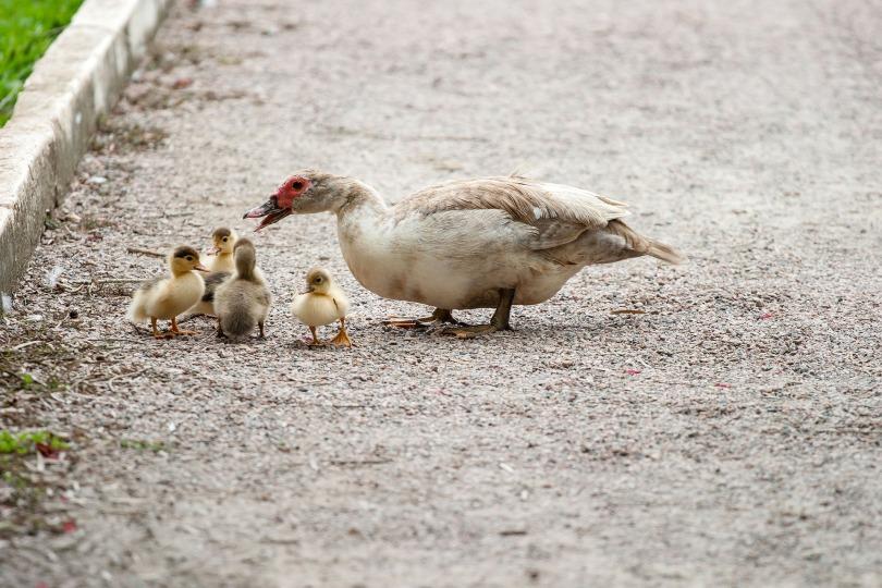 ducks-204334_1920