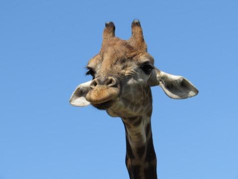 giraffe-2974518_1920